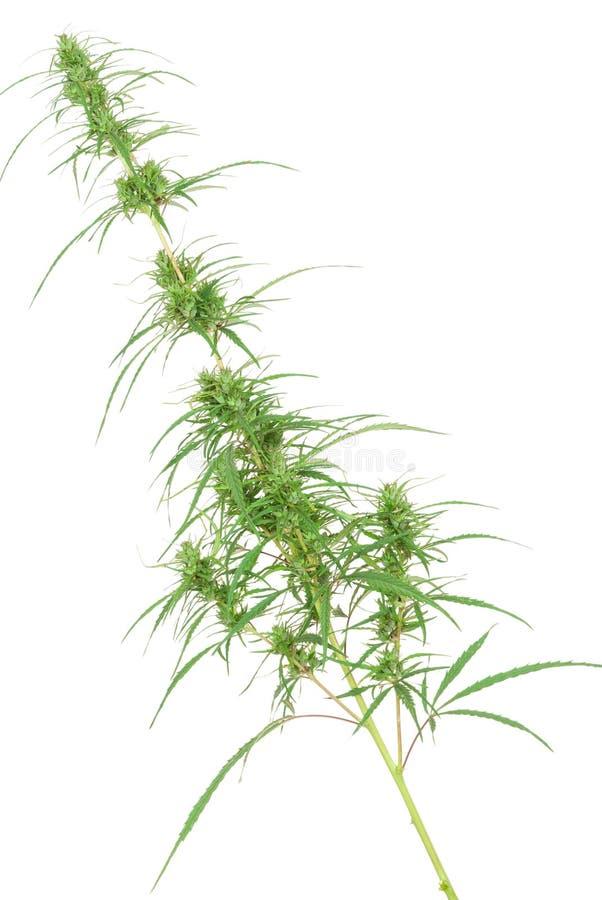 Tak van cannabisinstallatie met knoppen stock fotografie