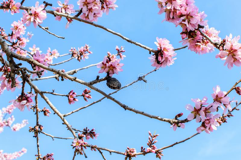 Tak van de bloeiende amandel stock fotografie