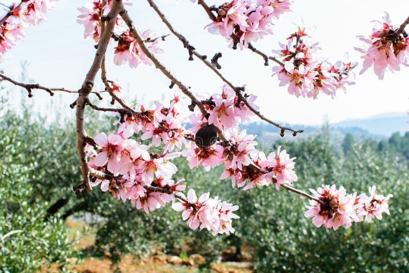 Tak van de bloeiende amandel royalty-vrije stock foto's