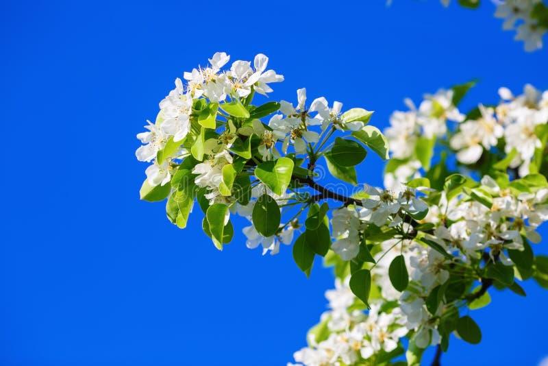 Tak van de de lente de bloeiende boom royalty-vrije stock fotografie