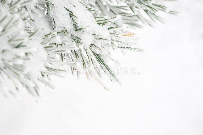 Tak van de dennenboom royalty-vrije stock foto