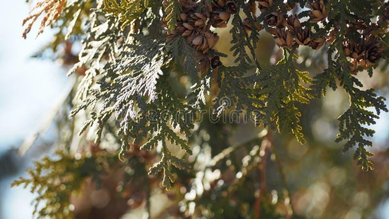Tak van de de lente de bos Altijdgroene boom en blauwe hemel royalty-vrije stock afbeeldingen