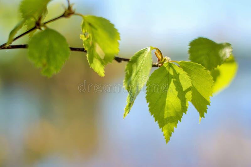 Tak van de de lente de grSpring berk met jonge bladeren tegen een blauwe hemel royalty-vrije stock afbeelding