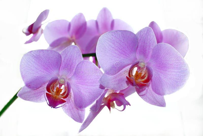 Tak van de tot bloei komende roze geïsoleerde orchidee royalty-vrije stock afbeelding