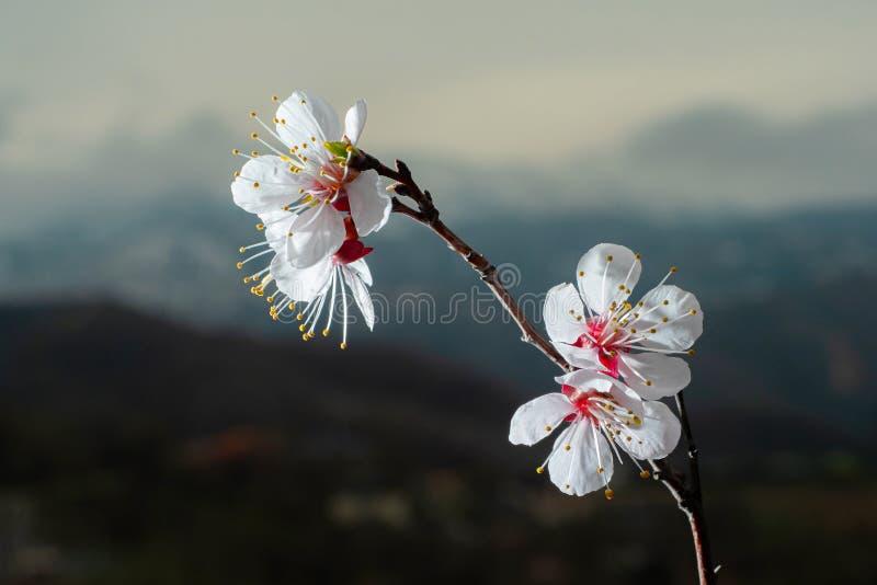 Tak van de wilde boom van het abrikozenfruit met bloeiende bloemen stock fotografie