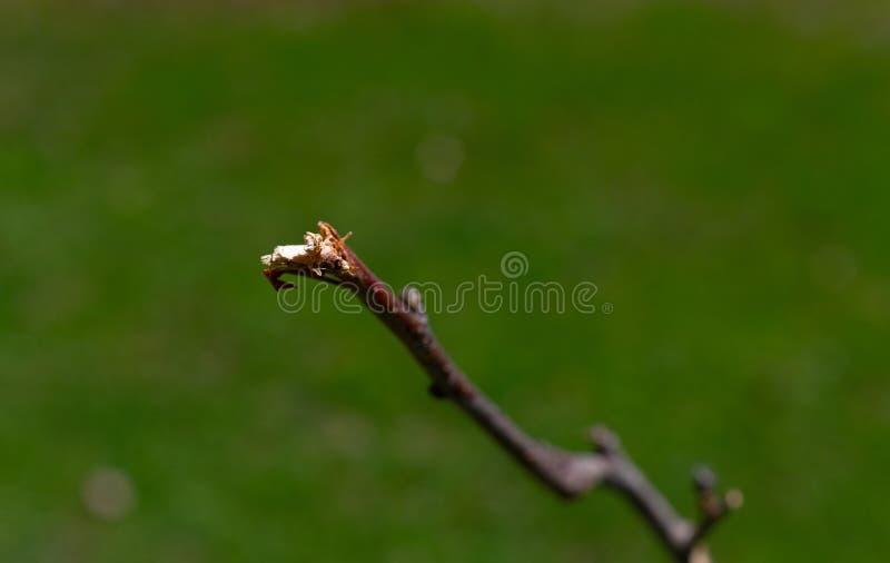 Tak van een appelboom door herten wordt gegeten dat royalty-vrije stock foto
