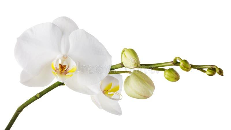 Tak van een bloeiende witte orchidee met een gele kleur in het midden en verscheidene onontdekte knoppen royalty-vrije stock foto