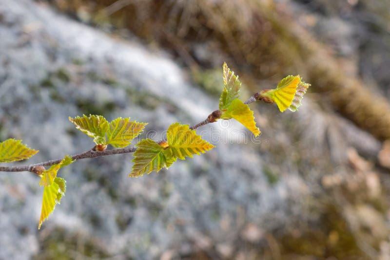 Tak van een boom met groene bladeren stock afbeeldingen