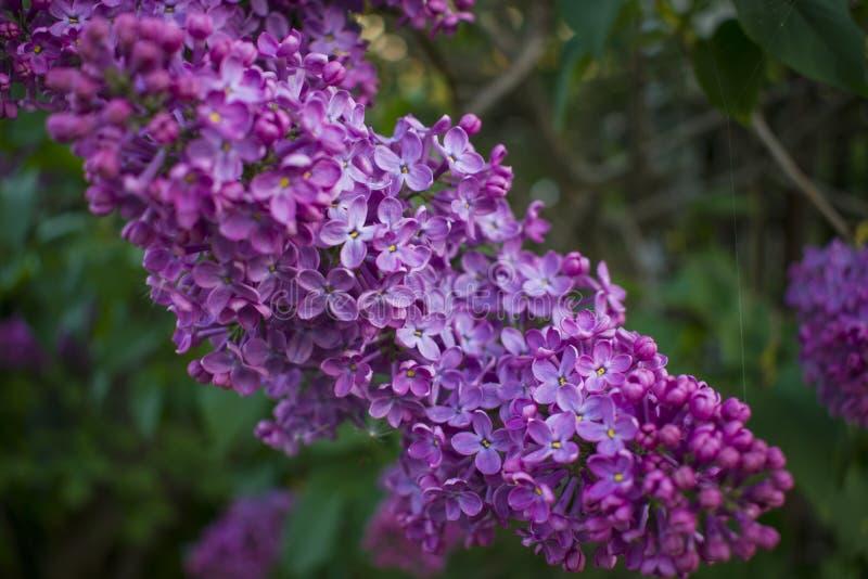Tak van een tot bloei komende sering stock afbeeldingen