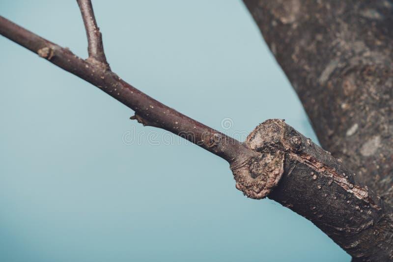 Tak van ge?nte boom in de vroege lente, waarin de knoppen reeds beginnen tot bloei te komen stock afbeelding