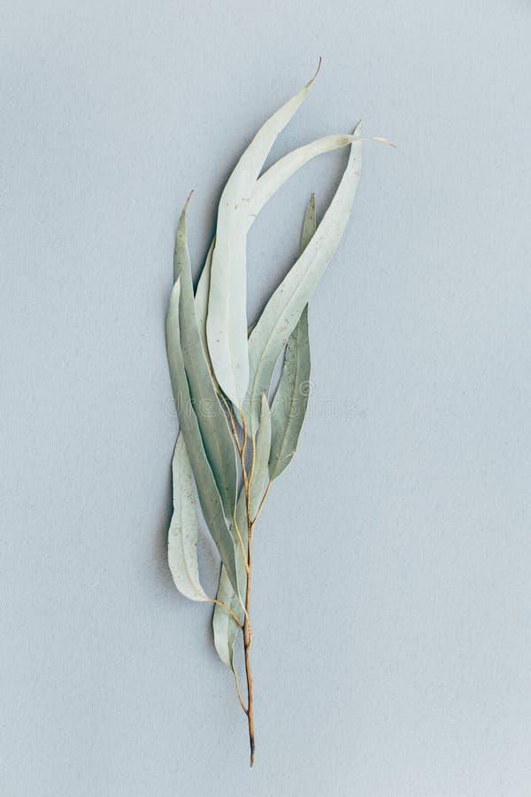 Tak van groene droge eucalyptus op een grijze achtergrond, Botanische patroonpastelkleur royalty-vrije stock foto