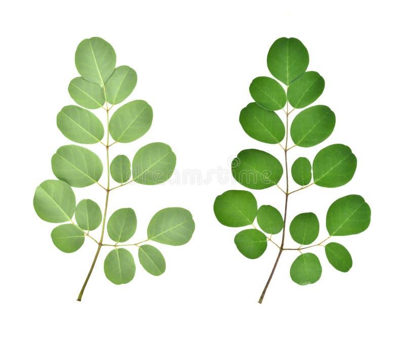Tak van groene moringa bladeren, Tropische die kruiden op wit worden geïsoleerd stock foto