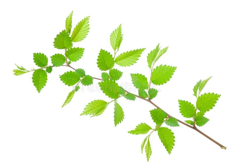Tak van haagbeuk met groene getande bladeren royalty-vrije stock fotografie