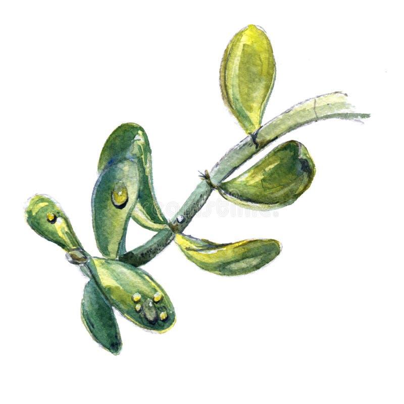 Tak van jadeinstallatie, geldboom Waterverf het schilderen van stam met bladeren royalty-vrije illustratie