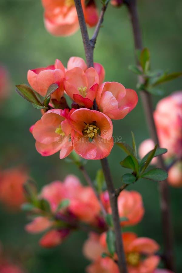 Tak van Japanse kweepeer in bloesem royalty-vrije stock afbeeldingen