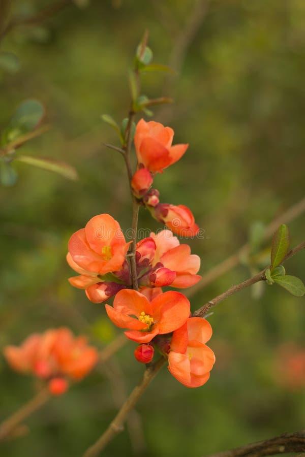 Tak van Japanse kweepeer in bloesem stock fotografie