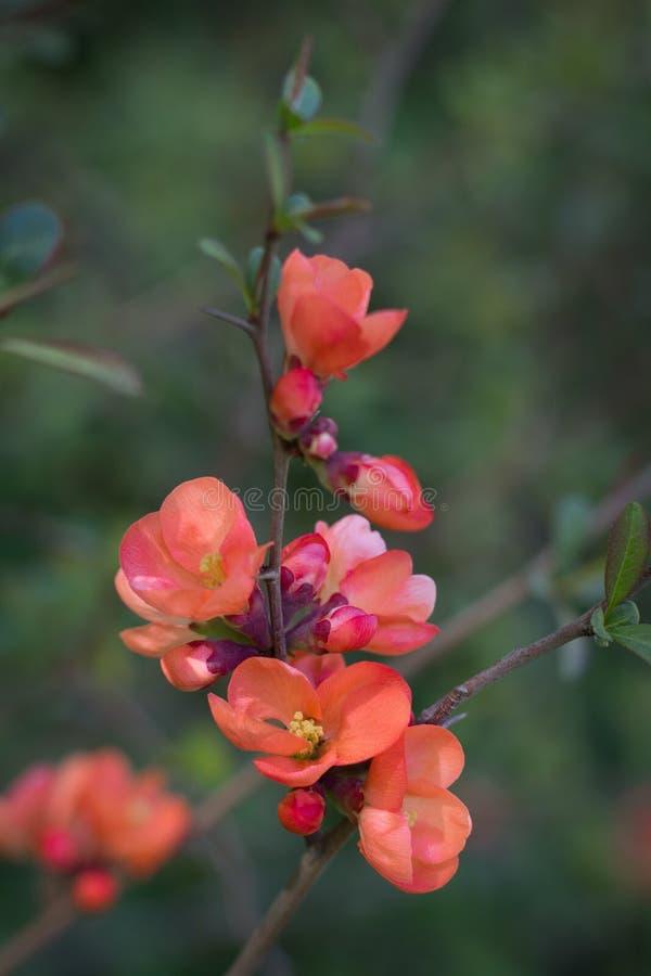 Tak van Japanse kweepeer in bloesem stock foto's