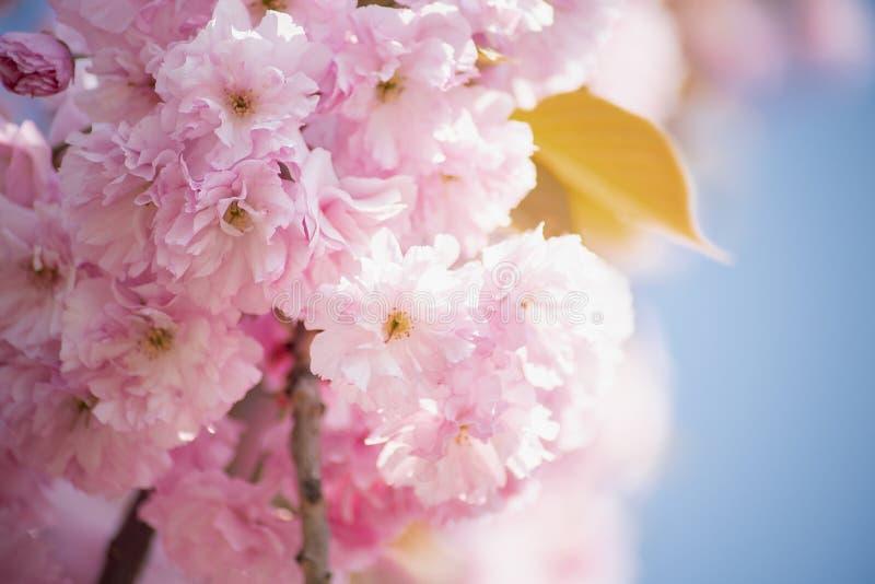 Tak van kersenbloesems Mooie roze bloemen Sakura op blauwe hemelachtergrond royalty-vrije stock foto's