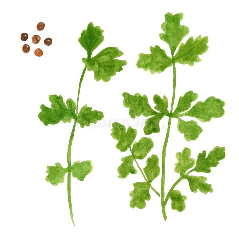 Tak van kruid, koriander of peterselie met zaden, waterverfillustratie royalty-vrije illustratie
