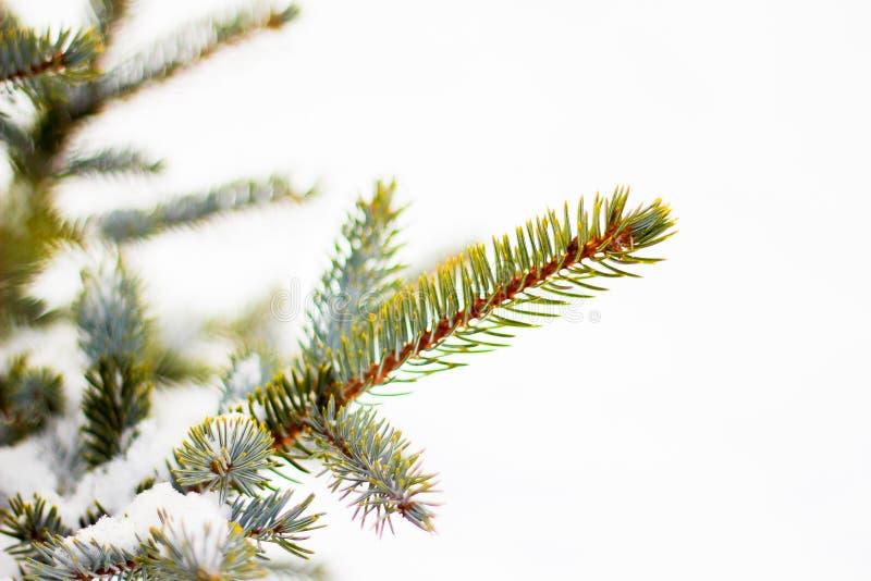Tak van nette boom met witte sneeuw De winter nette boom in frostLayer van sneeuw op takken van sparren met hoar-frostFir- royalty-vrije stock fotografie