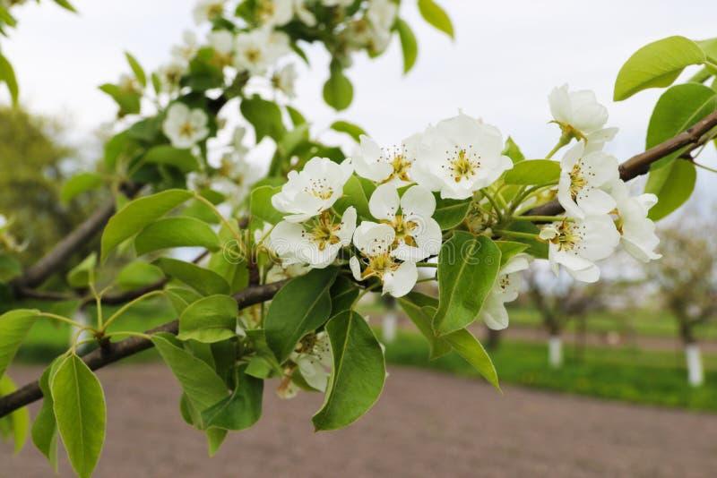 Tak van peer met witte bloemen in de lente stock foto's