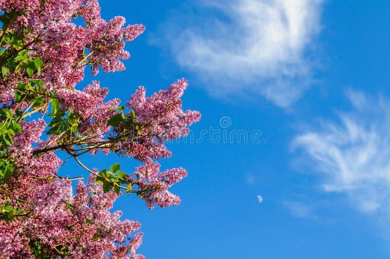 Tak van purpere seringen op de achtergrond van blauwe hemel stock afbeelding