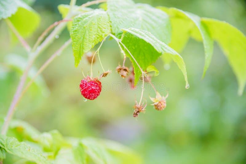 Tak van rijpe frambozen in tuin Rode zoete bessen die op frambozenstruik groeien in fruittuin De zomertuin binnen royalty-vrije stock afbeelding