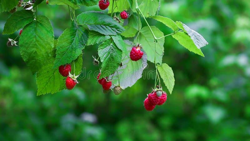 Tak van rijpe frambozen in tuin Rode zoete bessen die op frambozenstruik groeien in fruittuin Seizoengebonden lokale pro van het  royalty-vrije stock afbeeldingen