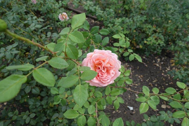 Tak van roze struik met roze bloem royalty-vrije stock afbeelding