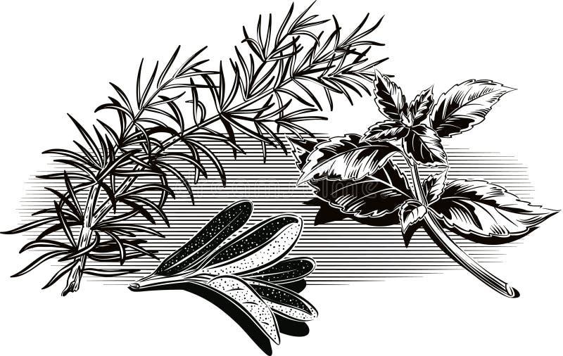 Tak van rozemarijn, salie en een twijg van basilicum royalty-vrije illustratie