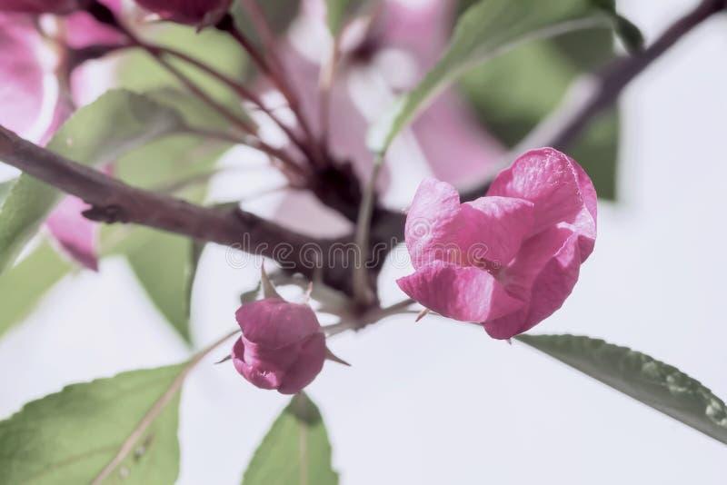 Tak van sakura, de bloeiende boom van de fruitlente, bloemen van appel, kers, uitstekende pastelkleur stock afbeeldingen