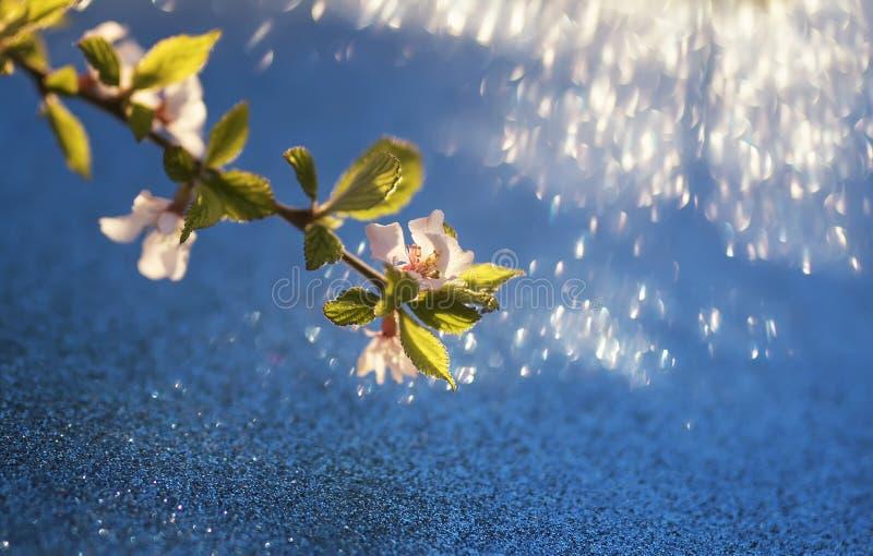 Tak van sneeuwwitte kersenbloesem op glanzend feestelijk helder blauw royalty-vrije stock fotografie