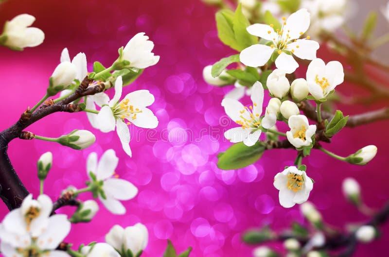 Tak van sneeuwwitte kersenbloesem op glanzend feestelijk helder roze stock foto's
