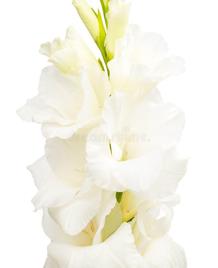 Tak van witte gladiolen royalty-vrije stock afbeelding