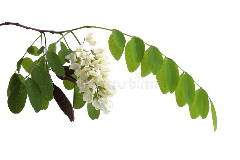 Tak van zwarte die sprinkhaan (Robinia-pseudoacacia) op wit wordt geïsoleerd royalty-vrije stock afbeelding
