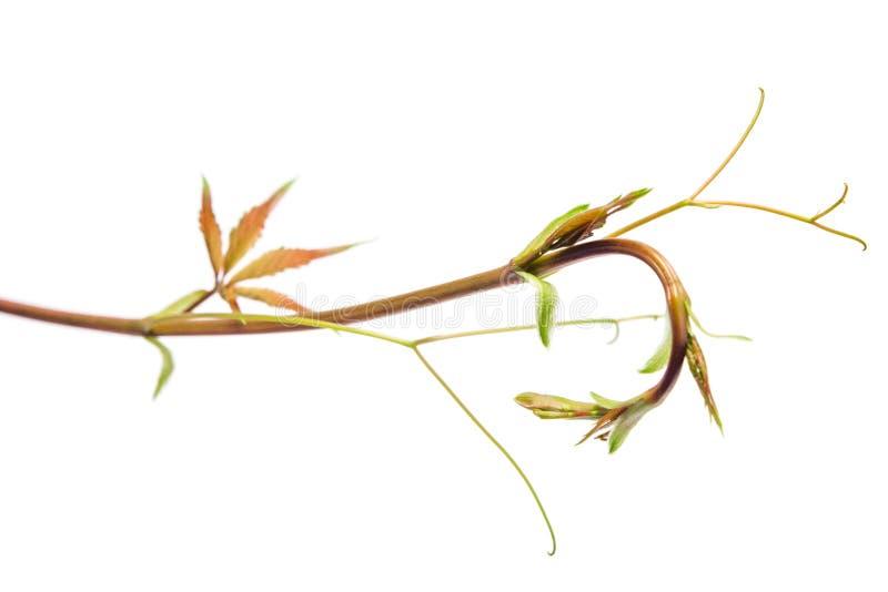 Tak, weinig blad van parthenocissus geïsoleerde witte achtergrond royalty-vrije stock afbeelding