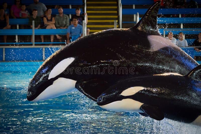 Takara en Kamea - SeaWorld San Antonion stock fotografie