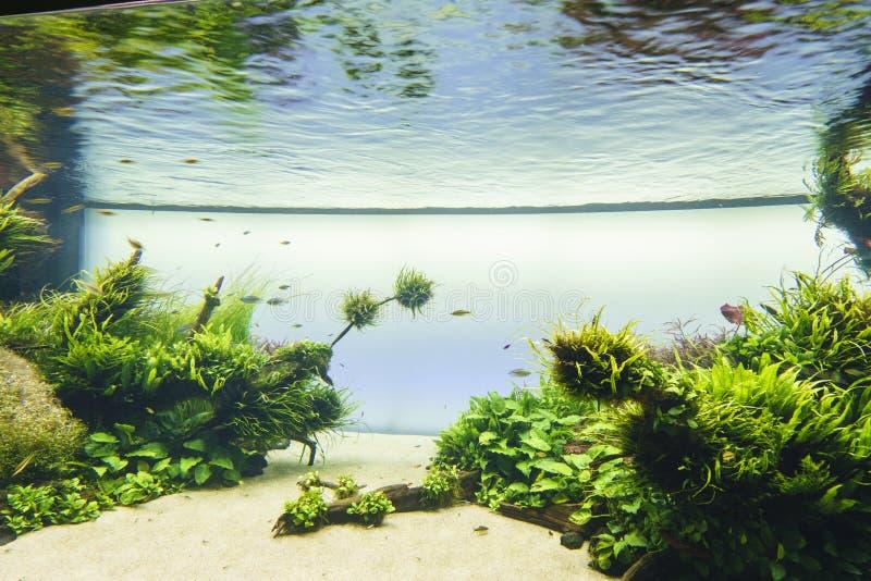 takasi för stil för natur för amanoakvarium sötvattens- royaltyfria bilder