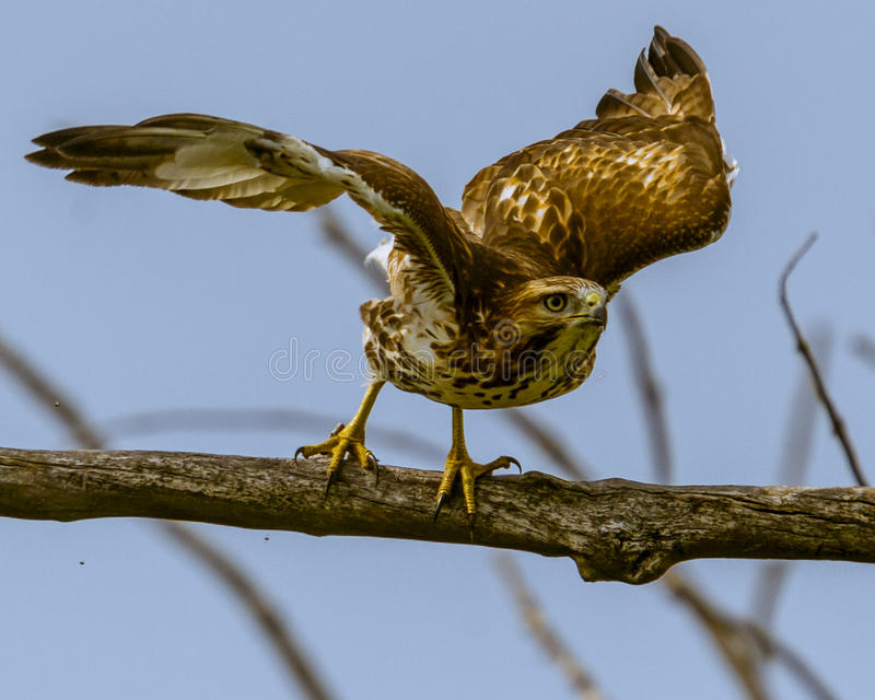 Download Take flight stock image. Image of woods, flight, hawk - 46368045