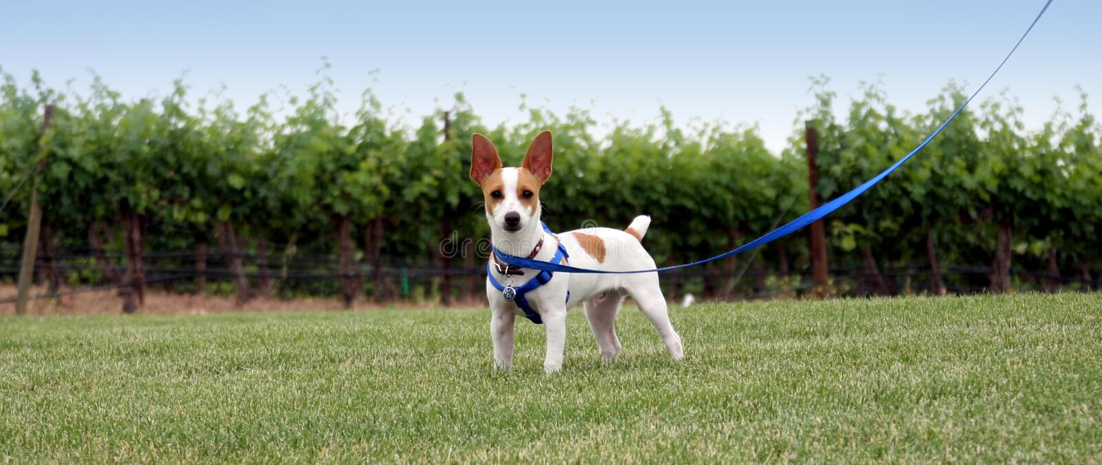 Take me for a walk. A rat terrier going for a walk in a Washington state vineyard stock image