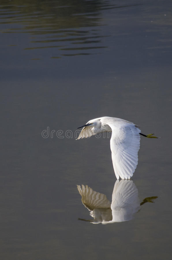 Take off. A little egret (Egretta garzetta) taking it's flight at Taudaha lake, Chobhar. Many migrating birds come to stay at Taudaha at different periods every royalty free stock photos