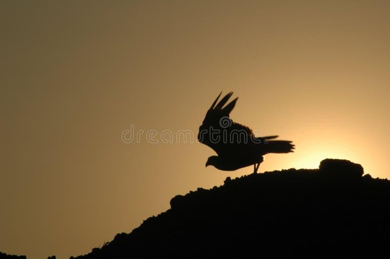 Take off -Polyborus plancus,crested caracara. royalty free stock image