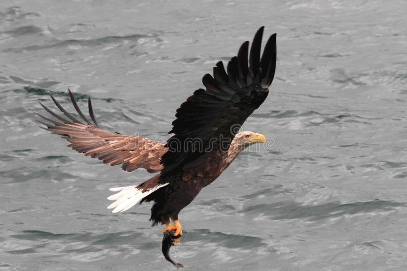 Take off with the prey, completed. Sea eagle flying away after a good catch Lofoten islands, arctic archipelago situated in northern Norway royalty free stock photo
