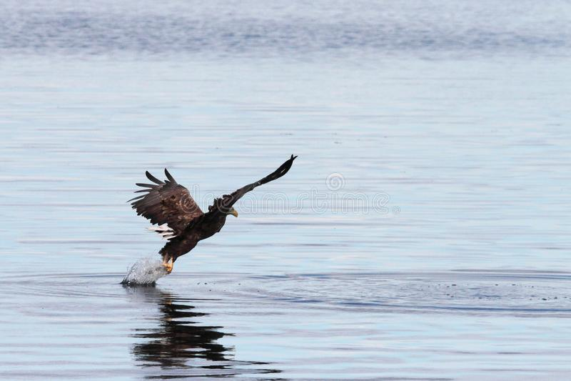 Take off with the prey. Sea eagle taking off after landing on a prey , Lofoten islands, arctic archipelago situated in northern Norway stock image