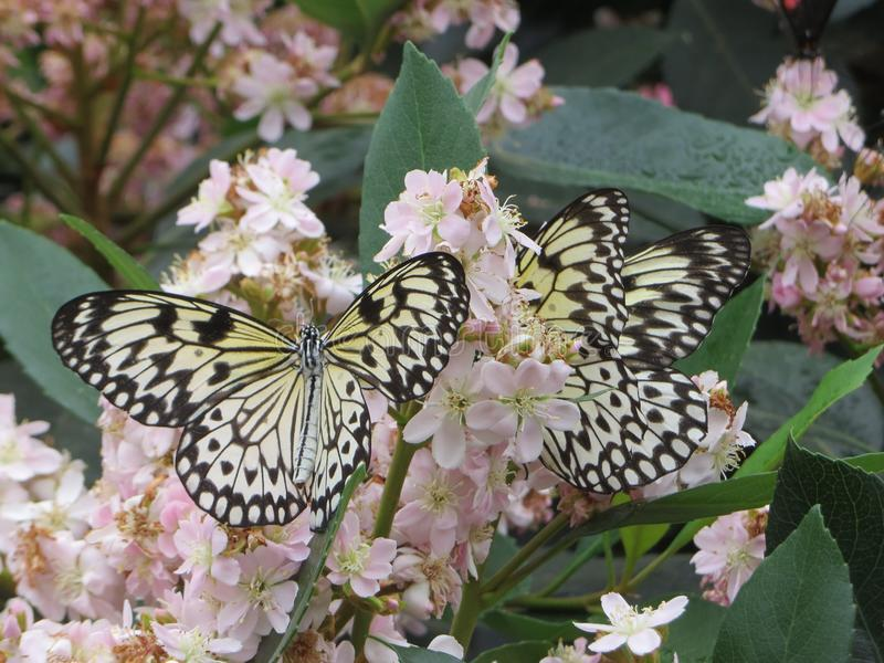 Swallowtail butter royalty free stock image