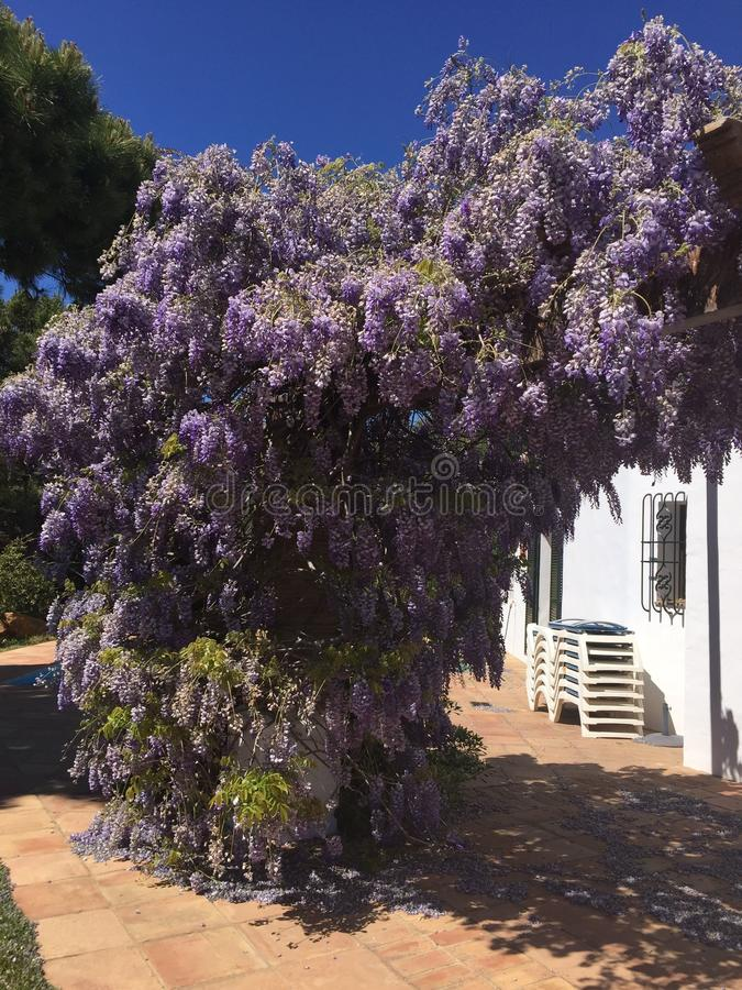 Spectacular Flowering Wisteria royalty free stock image