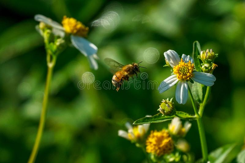 Honey bee searching for a nectar breakfast royalty free stock photos