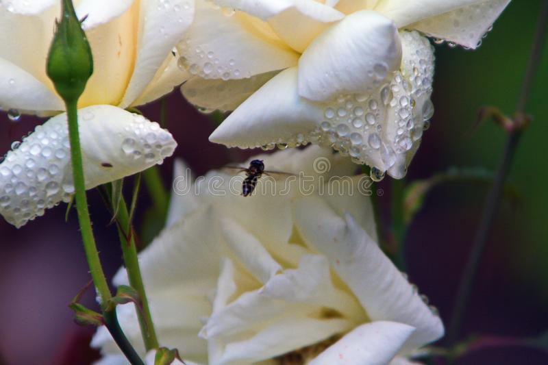 BEE ON WHITE TROPICAL FLOWER stock image