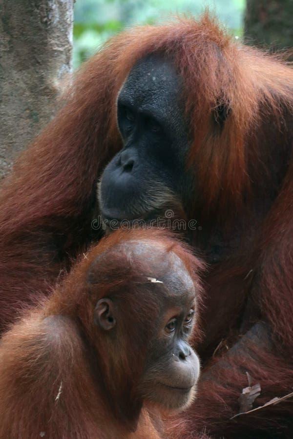 Sumatra Orangutan parent royalty free stock photography