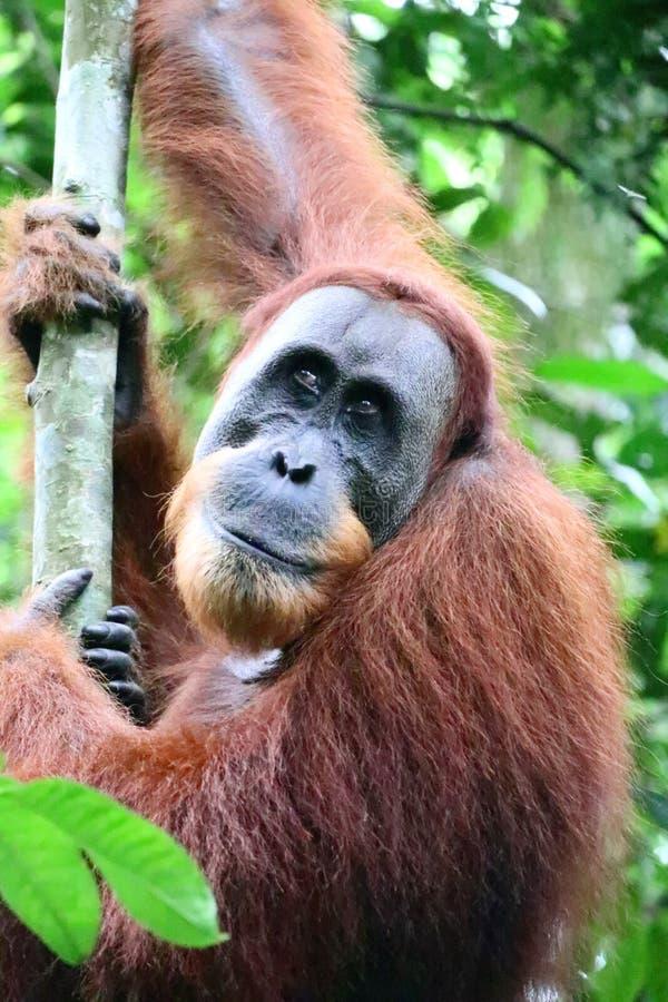 Orangutan Male Portrait royalty free stock photos